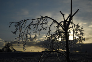Ice-damaged tree, covered with ice, at sunset