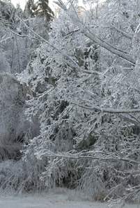 Trees with thick cover of ice