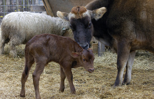 Overlook Farm (Heifer International): Nicole, a jersey cow, nudges her young calf (unnamed so far) just two days old
