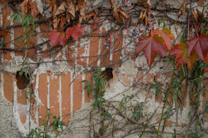 Ivy on the Cow Barn with eroded stucco exposing underlying brick