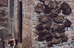 Dung patties drying on a wall
