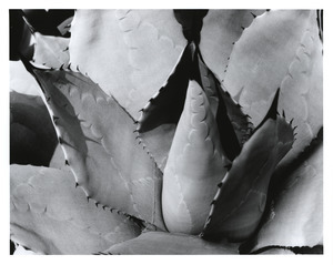 Agave with thorn marks
