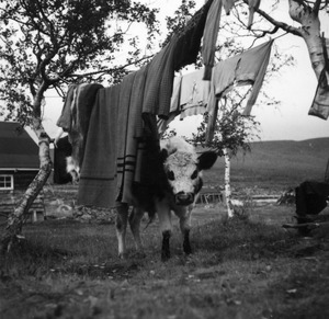 Cow and clothesline