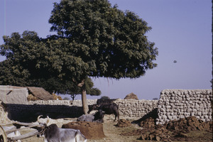 Oxen, cows and piles of cow dung