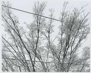 Ice on kouza dogwood and wires