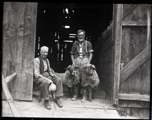 Uncle John Brooks and two sheep, with Ephrem Weston preparing for sheep shearing