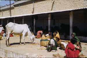 White cow is fed at bazaar in Bangalore