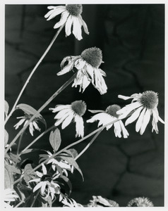 Coneflowers with flagstone in background