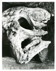 Large root with eyes and nose