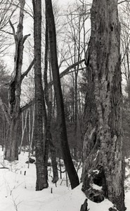 Tree trunks in snow-covered woods