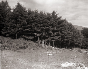 Dorothy Canfield Fisher: distant shot of Fisher walking to a tall stand of pine trees