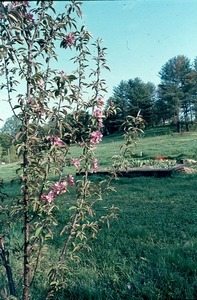 Apple Trees in bloom, 2001 Center