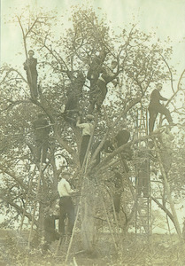 Class of 1910 students pruning an apple tree