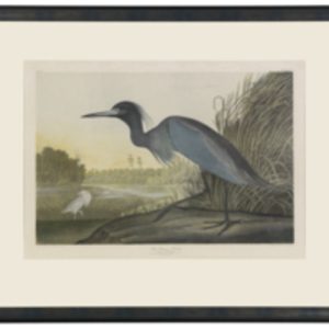 Blue Crane, or, Heron