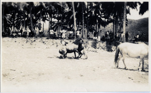Horse fight at Calian, Philippines