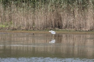 Snowy egret taking off from the water against a backdrop of reeds, Wellfleet Bay Wildlife Sanctuary
