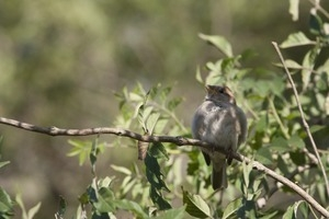 Field sparrow (?) perched on a branch, Wellfleet Bay Wildlife Sanctuary