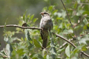Sparrow perched in a branch, Wellfleet Bay Wildlife Sanctuary