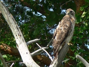 Red tailed hawk perched in a tree, Wellfleet Bay Wildlife Sanctuary