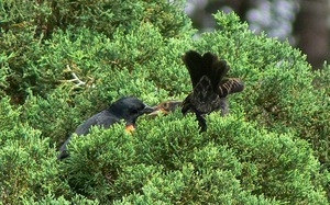 Red winged blackbird pair perched in a cypress, Wellfleet Bay Wildlife Sanctuary
