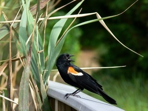 Red winged blackbird (male) vocalizing and perched on a railing near a patch of reeds, Wellfleet Bay Wildlife Sanctuary