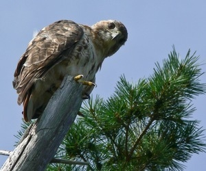Red tailed hawk perched on a dead branch in front of a white pine, Wellfleet Bay Wildlife Sanctuary