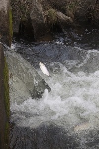 Alewife in mid-air, leaping up a waterfall during the herring run at the Stony Brook Grist Mill and Museum