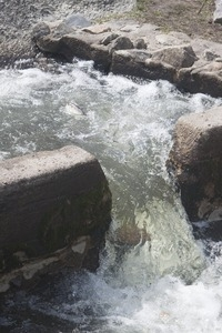 Alewife leaping up a waterfall during the herring run at the Stony Brook Grist Mill and Museum