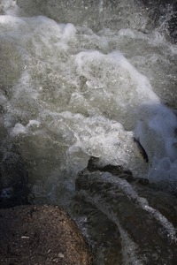 Alewife in roiling water at the base of the waterfall during the herring run at the Stony Brook Grist Mill and Museum