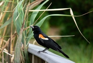 Red winged blackbird (male) perched on a railing near a patch of reeds, Wellfleet Bay Wildlife Sanctuary