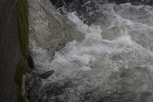 Alewife at the base of a waterfall during the herring run at the Stony Brook Grist Mill and Museum