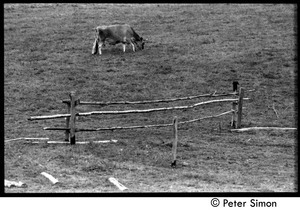 Dolly the cow grazing by the remains of a fence, Montague Farm commune