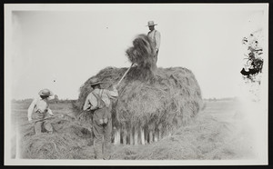 Three men in a marshy area stacking hay, Hampton, N.H., undated