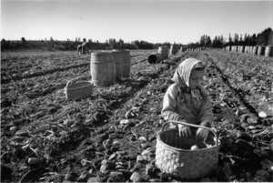 Aroostook County potato picking, Maine, 1954