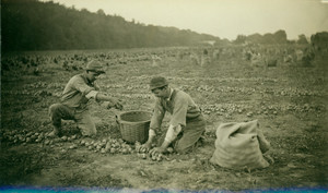 Two men gather potatoes in a field, location unknown, undated