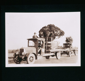 Trucks delivering trees to Riegel Point, Fairfield, Conn., undated