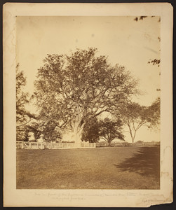 Tree in front of the Lawrence Homestead, June 1870