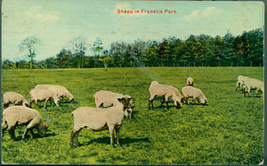 Sheep in Franklin Park