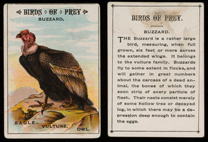 Birds of prey, buzzard, location unknown, undated