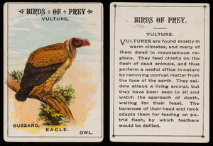 Birds of prey, vulture, location unknown, undated