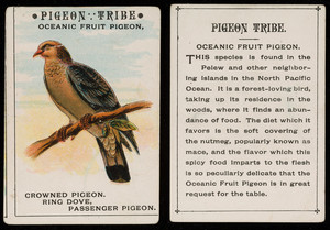 Pigeon tribe, oceanic fruit pigeon, location unknown, undated