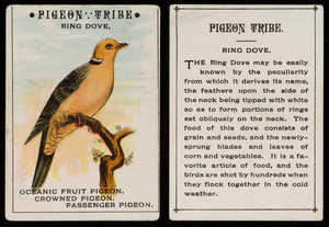 Pigeon tribe, ring dove, location unknown, undated