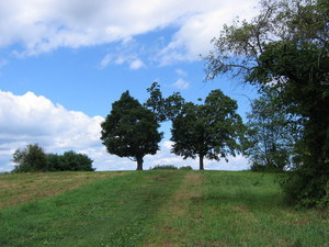 Twin trees on Mount Pollux