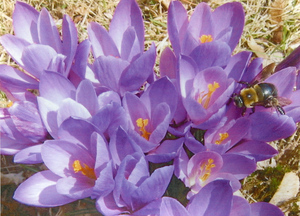 Amherst in spring time : crocus and bee