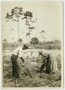 Black couple clearing palmetto scrub for a garden