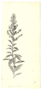 Illustration of meadow-weed