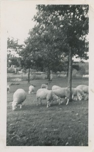 Cheviot sheep owned by Robert Brackley, New Salem Academy Class of 1955, Future Farmers of America project