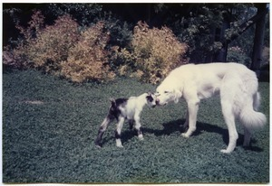 Maya the dog meeting Zetta the baby goat