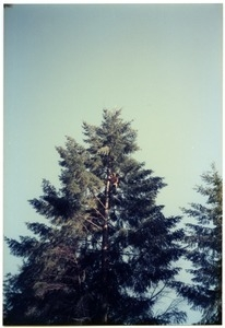 Fastenilng ropes before falling fir trees for poles