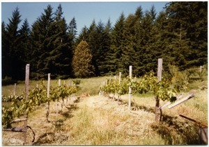 Grapevines in small meadow, Salmon Creek